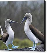 Blue-footed Boobies Courting Galapagos Canvas Print