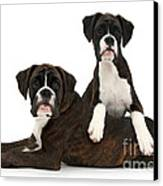 Boxer Pups Canvas Print by Mark Taylor