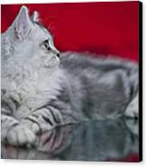 British Longhair Kitten Canvas Print
