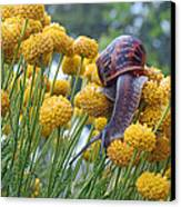 Brown Garden Snail Canvas Print by Walter Klockers