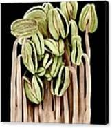 Camellia Flower Stamens, Sem Canvas Print by Science Photo Library