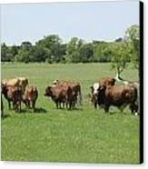 Cattle Grazing Canvas Print