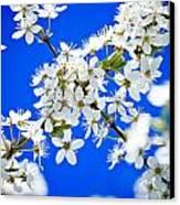 Cherry Blossom With Blue Sky Canvas Print by Raimond Klavins