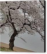Cherry Blossoms - Washington Dc - 011343 Canvas Print