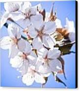 Cherry Tree Blossoms Close Up Canvas Print