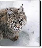 Close-up Bobcat Lynx On Snow Looking At Camera Canvas Print