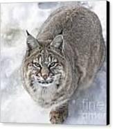 Close-up Of Bobcat Lynx Looking At Camera Canvas Print by Sylvie Bouchard