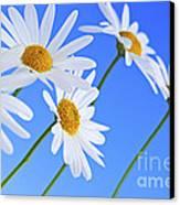 Daisy Flowers On Blue Background Canvas Print by Elena Elisseeva