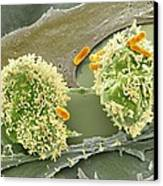 Dividing Cancer Cell, Sem Canvas Print by Science Photo Library