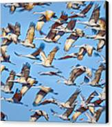 Flight Of The Sandhill Cranes Canvas Print by Steven Llorca