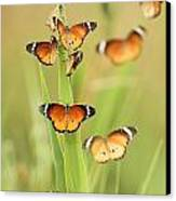 Flock Of Plain Tiger Danaus Chrysippus Canvas Print by Alon Meir