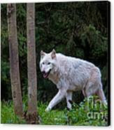 Gray Wolf White Morph Canvas Print by Mark Newman