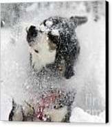 Husky Dogs Pull A Sledge  Canvas Print