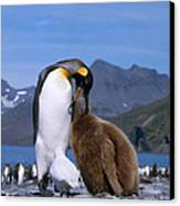 King Penguins Aptenodytes Patagonicus Canvas Print by Hans Reinhard