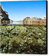 Marine Algae Canvas Print by Science Photo Library
