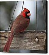 Northern Cardinal Canvas Print by John Kunze