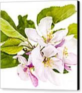 Pink Apple Blossoms Canvas Print