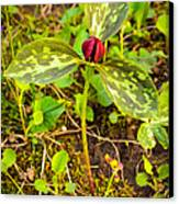 Praire Trillium Canvas Print by Thomas Pettengill