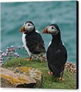 Puffins Canvas Print by Peter Skelton