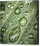 Raindrops On Green Leaf Canvas Print by Elena Elisseeva