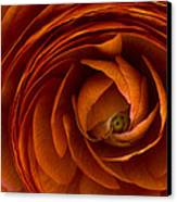 Ranunculus Canvas Print by Cindy Rubin