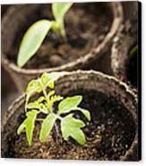 Seedlings  Canvas Print by Elena Elisseeva