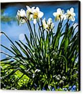 Spring Daffodils. Park Keukenhof Canvas Print by Jenny Rainbow