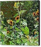 Sunflower Garden Canvas Print by Annette Allman