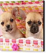 Two Chihuahuas Canvas Print by Greg Cuddiford