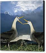 Waved Albatross Courtship Dance Canvas Print by Tui De Roy