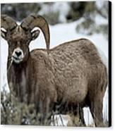 Yellowstone Ram Canvas Print by David Yack