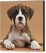 Boxer Puppy Canvas Print by Mark Taylor