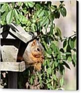 Eastern Fox Squirrel Canvas Print by Jack R Brock