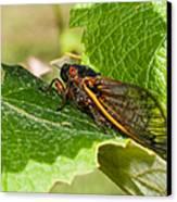 17 Year Cicada 2 Canvas Print