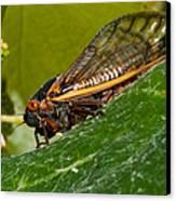 17 Year Cicada 3 Canvas Print by Lara Ellis