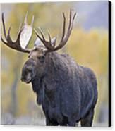 Autumn Bull Moose IIi Canvas Print