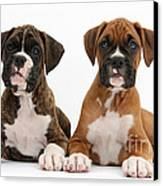 Boxer Puppies Canvas Print