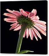 Coneflower Canvas Print by Tony Cordoza
