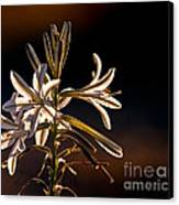 Desert Easter Lily Canvas Print by Robert Bales