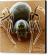 Dictynid Spider Canvas Print by David M. Phillips