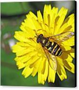 Hoverfly On Dandelion Canvas Print