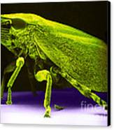Leafhopper, Sem Canvas Print by David M. Phillips