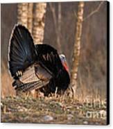 Male Eastern Wild Turkey Canvas Print