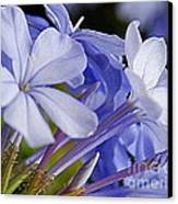 Plumbago Summer Solstice In New Orleans Louisiana Canvas Print