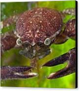 Porcelain Crab On Neptune Grass Canvas Print by Science Photo Library