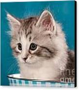 Sibirian Cat Kitten Canvas Print by Doreen Zorn
