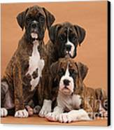 Three Boxer Puppies Canvas Print