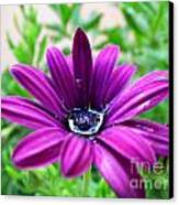 Violet Daisy Canvas Print by Stefano Piccini
