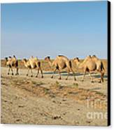 Camel. Canvas Print