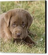 Chocolate Labrador Puppy Canvas Print